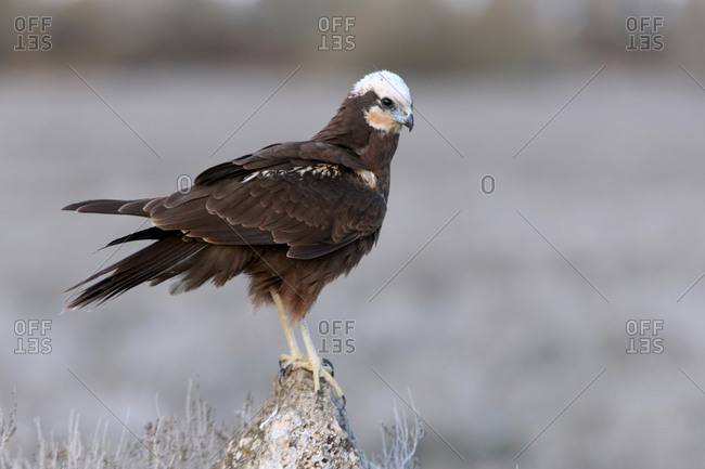 Adult female of Western marsh harrier, Circus aeroginosus