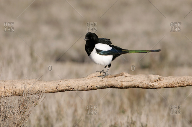 Common magpie (Pica pica) on a branch
