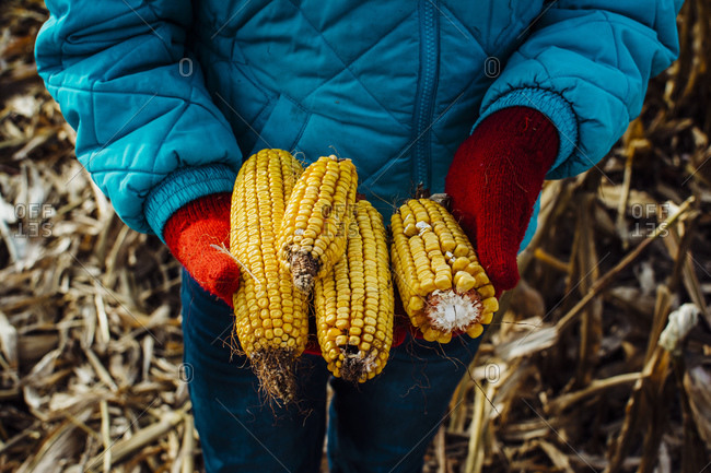 Dried Corn Ears Held in Red Mittened Hands in Michigan