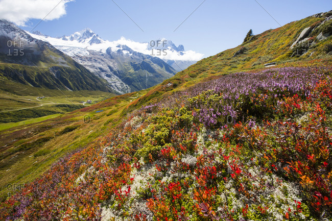 The Mont Blanc range from the Aiguillette des Posettes with Bilberry plants coloring up in late summer.