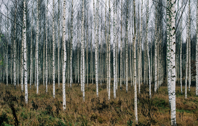 Forest of silver birch trees in Sweden in winter
