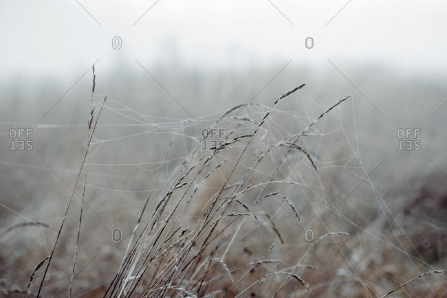 Grass & reeds covered in spiders webs and frost in a meadow in winter