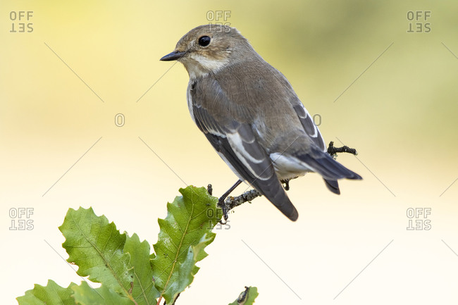 Flycatchers (Ficedula hypoleuca) perched on its hanger