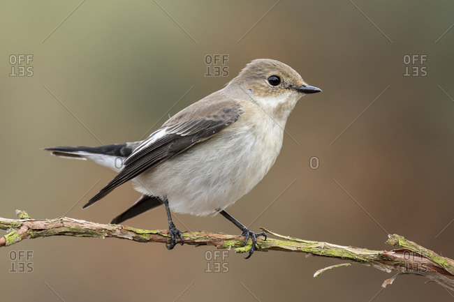 Flycatcher (Ficedula hypoleuca) with winter plumage perched on its perch