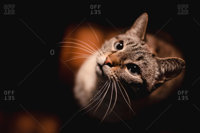 From above adorable serious cat with long healthy mustache attentively looking at camera in dark room