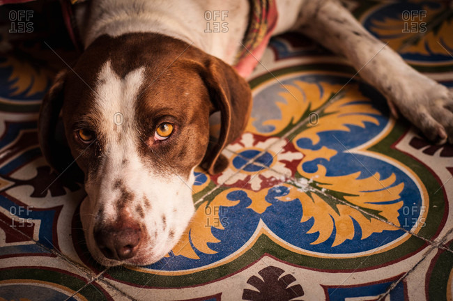 Unhappy Jack Russell Terrier with lying on colorful tiles floor looking at camera