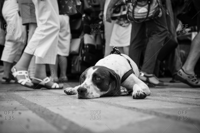 Unhappy Jack Russell Terrier with harness lying on ground in street looking away