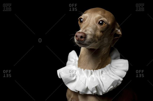 Little italian greyhound dog in studio disguised on dark background dressed ina funny costume