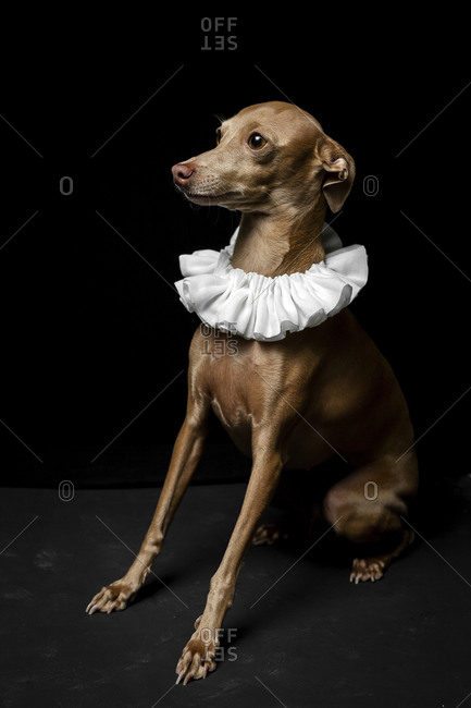 Side view of little italian greyhound dog in studio disguised on dark background dressed ina funny costume