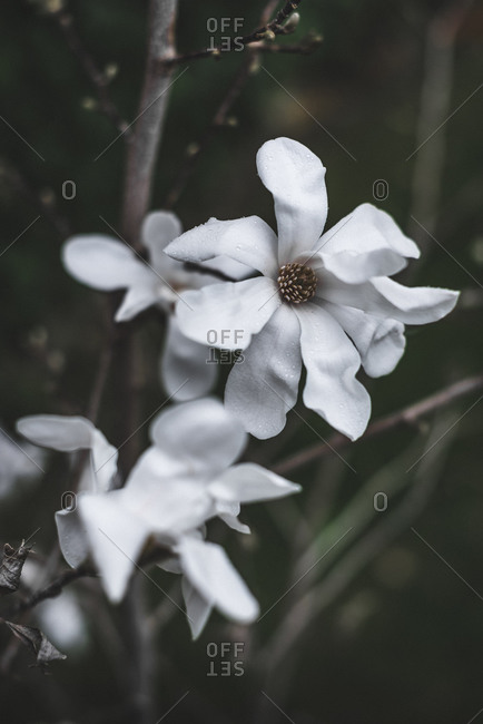 Tender aromatic magnolia flowers with white beautiful petal on bush in garden