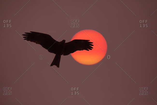 Hawk at sunrise near the holy Ganges River in early morning, Haridwar City, India
