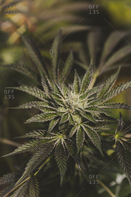 Close up of a cannabis plant