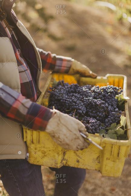 Farmer harvesting grapes from a vineyard
