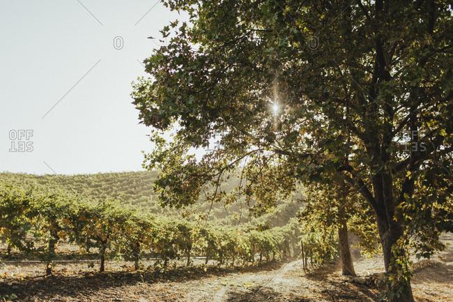 Sun shining over a vineyard
