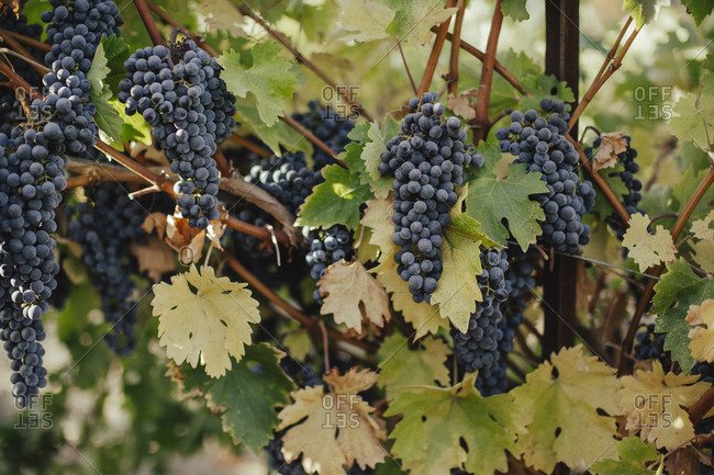 Close up of grapes growing in a vineyard