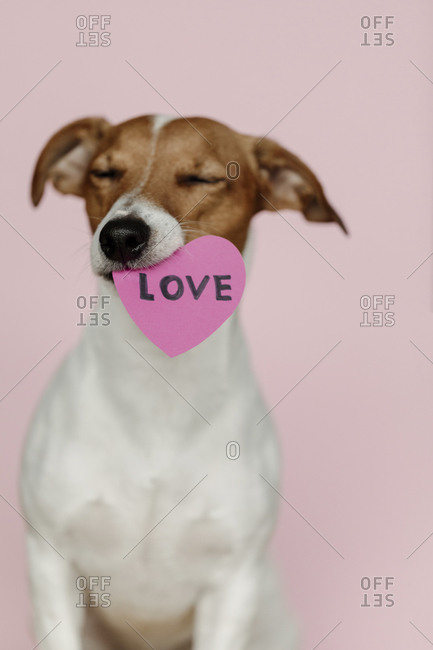 Adorable Jack Russell Terrier dog holding a Valentine heart