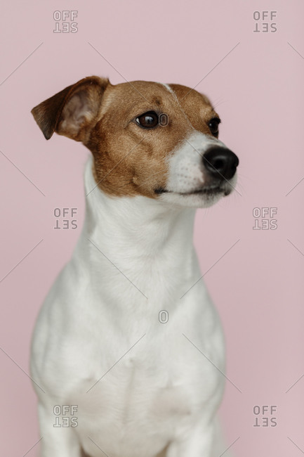 Jack Russell Terrier dog on a pink background