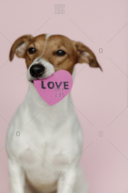 Jack Russell Terrier dog holding a Valentine heart