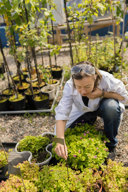 Female agritech scientist inspecting strawberry plants