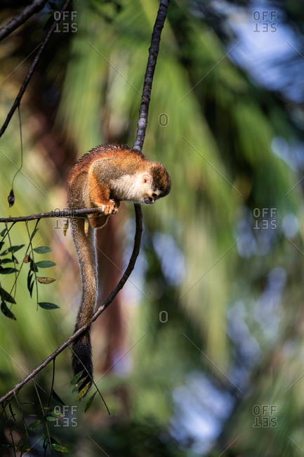 Squirrel monkey on a tree branch in Costa Rica