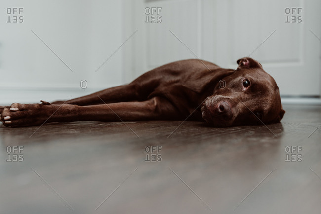 Chocolate labrador lying on wooden floor