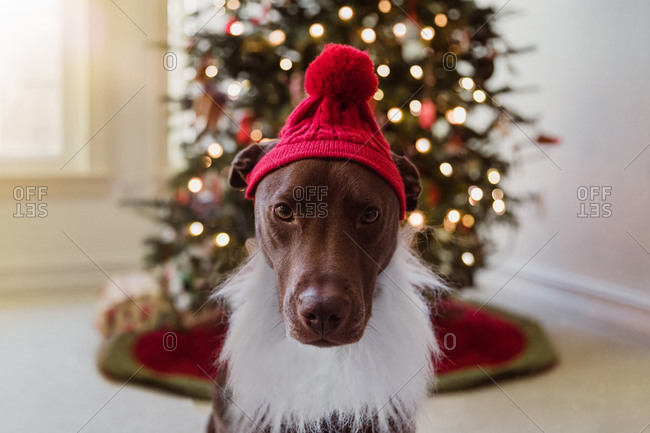 Chocolate labrador dressed as Santa Claus