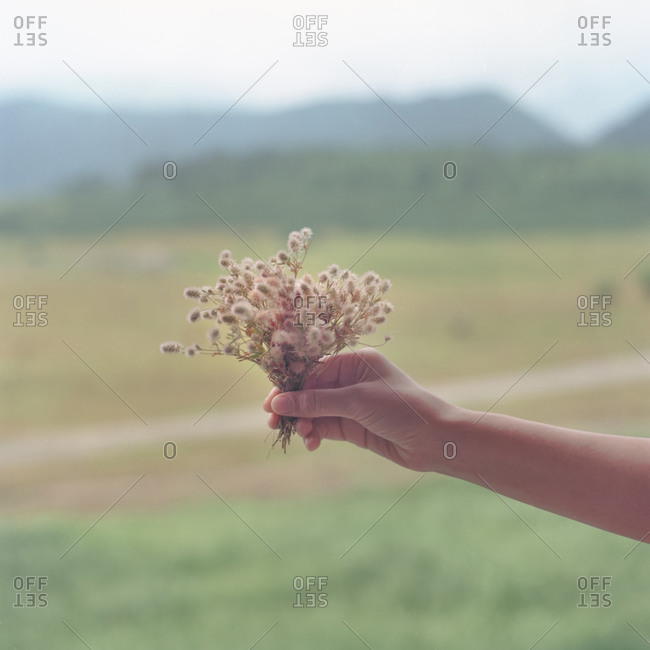 Hand holds a bundle of haresfoot clover (trifolium arvense) outdoors
