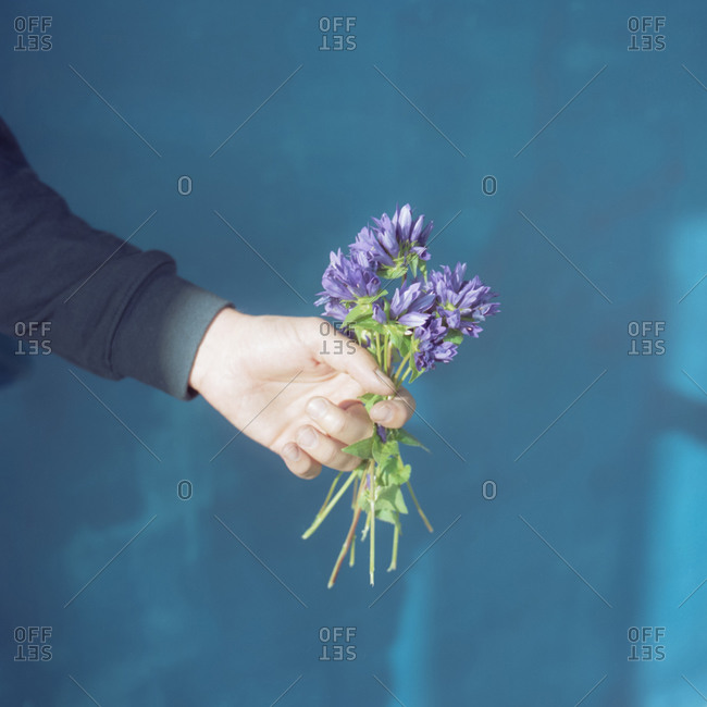 Hands holding a freshly picked bouquet of fringed gentian (gentianopsis ciliata)