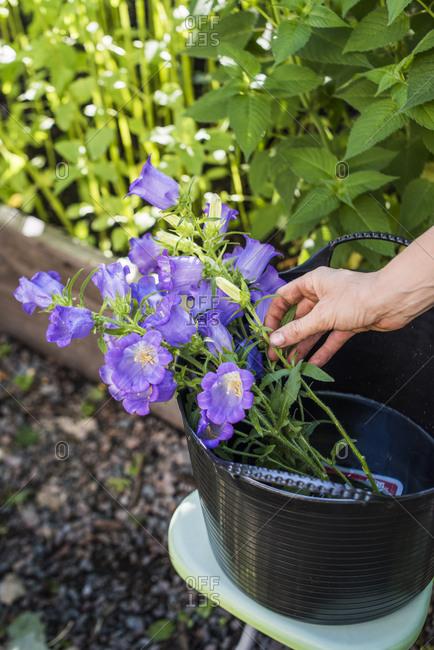 Fresh cut canterbury bells (campanula medium) grown in urban garden
