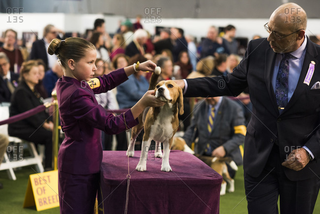 New York City, USA - February 9, 2020: Junior handler presenting her Beagle during the Hound breeds judging, 144th Westminster Kennel Club Dog Show, Pier 94, New York City