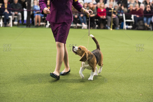 New York City, USA - February 9, 2020: Junior handler running with her Beagle during the Hound breeds judging, 144th Westminster Kennel Club Dog Show, Pier 94, New York City