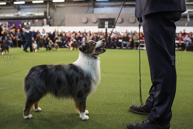 New York City, USA - February 9, 2020: Australian Shepherd with handler in ring during dog presentation, 144th Westminster Kennel club Dog Show, Pier 94, New York City