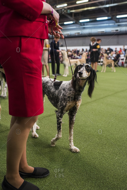 New York City, USA - February 9, 2020: Saluki Hound dog with handler in ring during dog presentation, 144th Westminster Kennel club Dog Show, Pier 94, New York City