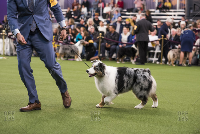 New York City, USA - February 9, 2020: Australian Shepherd and handler run for judging, 144th Westminster Kennel club Dog Show, Pier 94, New York City