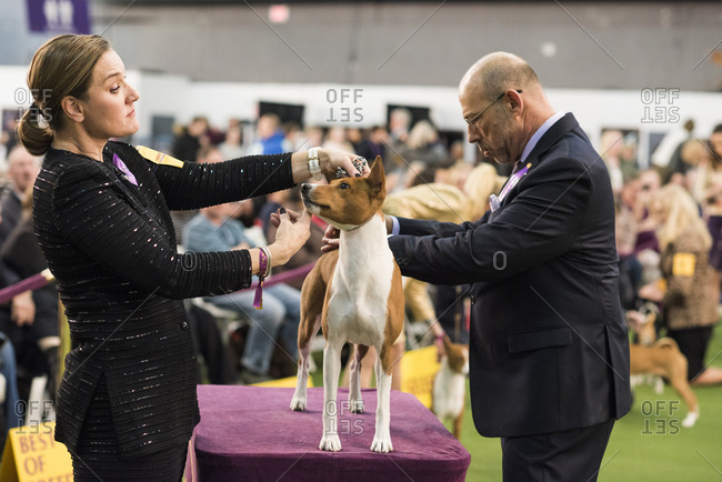 New York City, USA - February 9, 2020: Handler presenting her Basenji during the Hound breed judging, 144th Westminster Kennel Club Dog Show, Pier 94, New York City