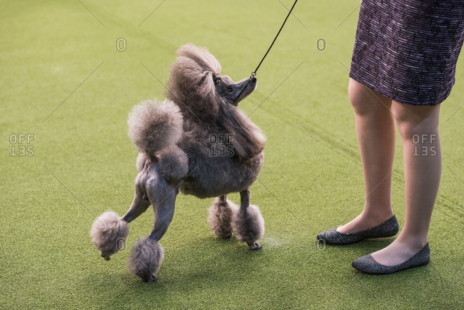 New York City, USA - February 9, 2020: Poodle with handler in show ring during dog presentation, 144th Westminster Kennel club Dog Show, Pier 94, New York City
