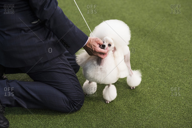 New York City, USA - February 9, 2020: Toy Poodle with handler in show ring during dog presentation, 144th Westminster Kennel club Dog Show, Pier 94, New York City