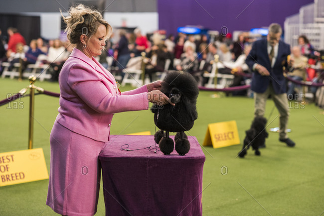 New York City, USA - February 9, 2020: Handler presenting her Poodle during the Hound breed judging, 144th Westminster Kennel Club Dog Show, Pier 94, New York City