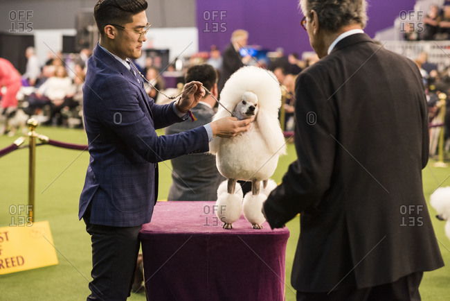 New York City, USA - February 9, 2020: Handler presenting his Poodle to judge for inspection, 144th Westminster Kennel Club Dog Show, Pier 94, New York City