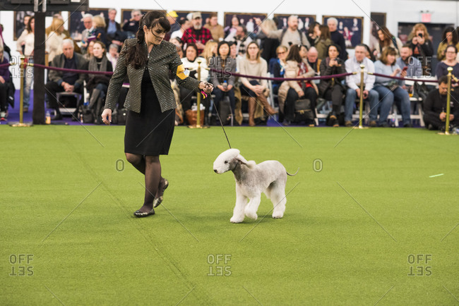 New York City, USA - February 10, 2020: Handler running with Bedlington Terrier in show ring, The 144th Westminster Kennel Club Dog Show, Pier 94, New York City