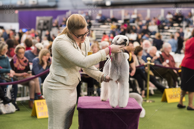 New York City, USA - February 9, 2020: Handler presenting her Bedlington Terrier to judge for inspection, 144th Westminster Kennel Club Dog Show, Pier 94, New York City