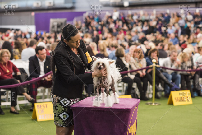 New York City, USA - February 10, 2020: Handler presenting her Chinese Crested for judging, The 144th Westminster Kennel Club Dog Show, Pier 94, New York City