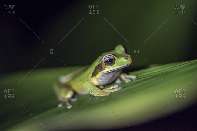 A tree frog on a leaf in Costa Rica