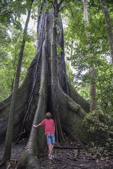 A boy looks up at a huge tree in the Costa Rica Rain forest.