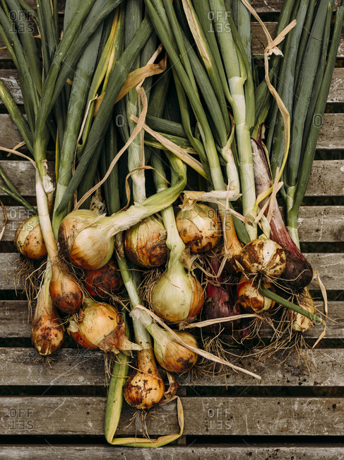 Bunch of onions  from the garden after recently being picked