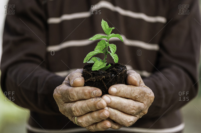 Ecology concept mature hands holding plant a tree sapling with on ground