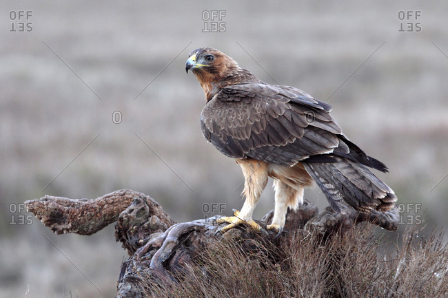 One year old female of Bonelli´s eagle, Aquila fasciata