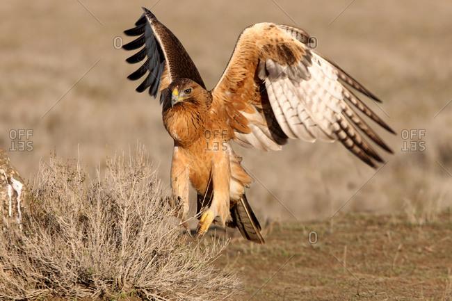 One years old female of Bonelli´s Eagle flying, Aquila fasciata