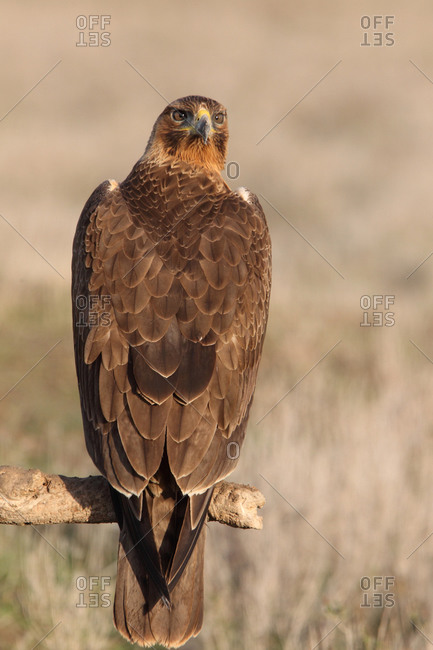 One years old female of Bonelli´s Eagle, Aquila fasciata
