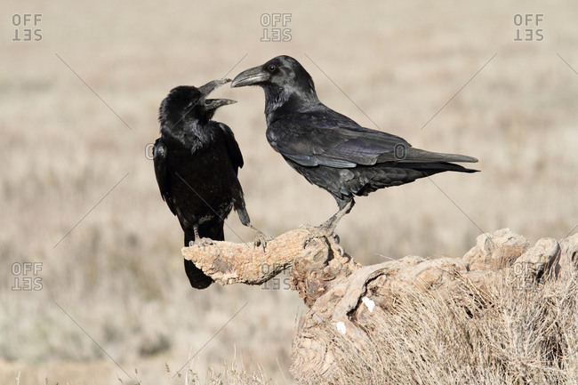 Male and female of Common raven